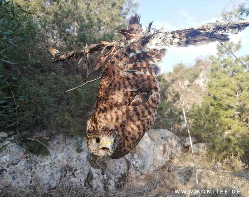 Rescued kestrel highlights cruelty of bird trappers (video)