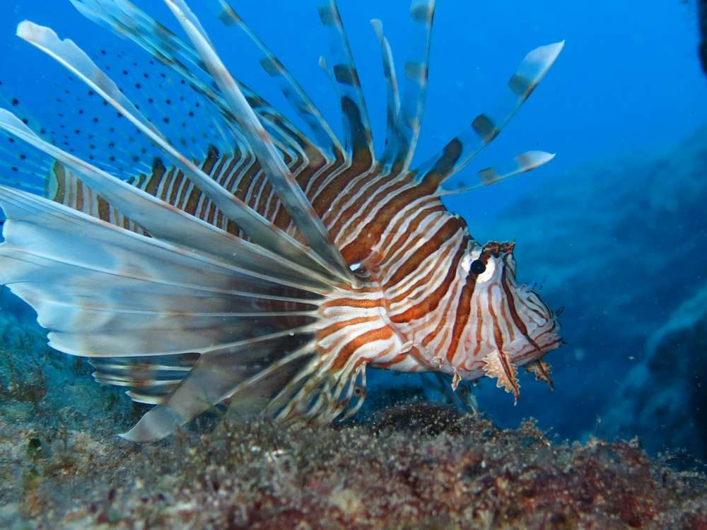 Lionfish found in Protaras shipwreck (video)
