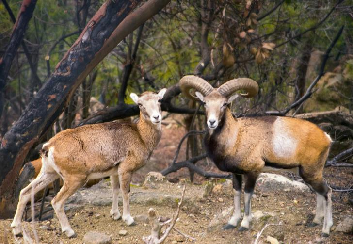 €1m state aid to compensate farmers from mouflon