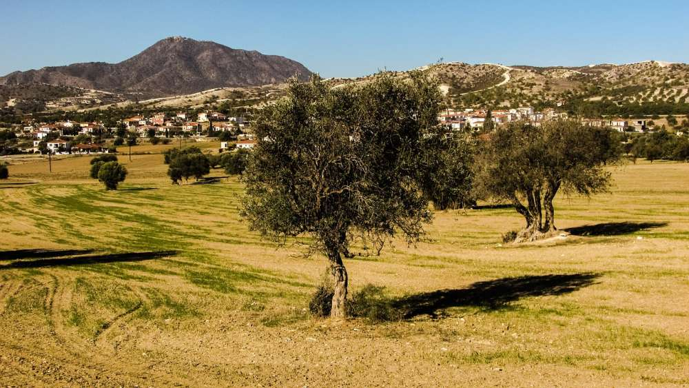 Expanse of land covered with olive trees in Cyprus the 7th highest in EU.