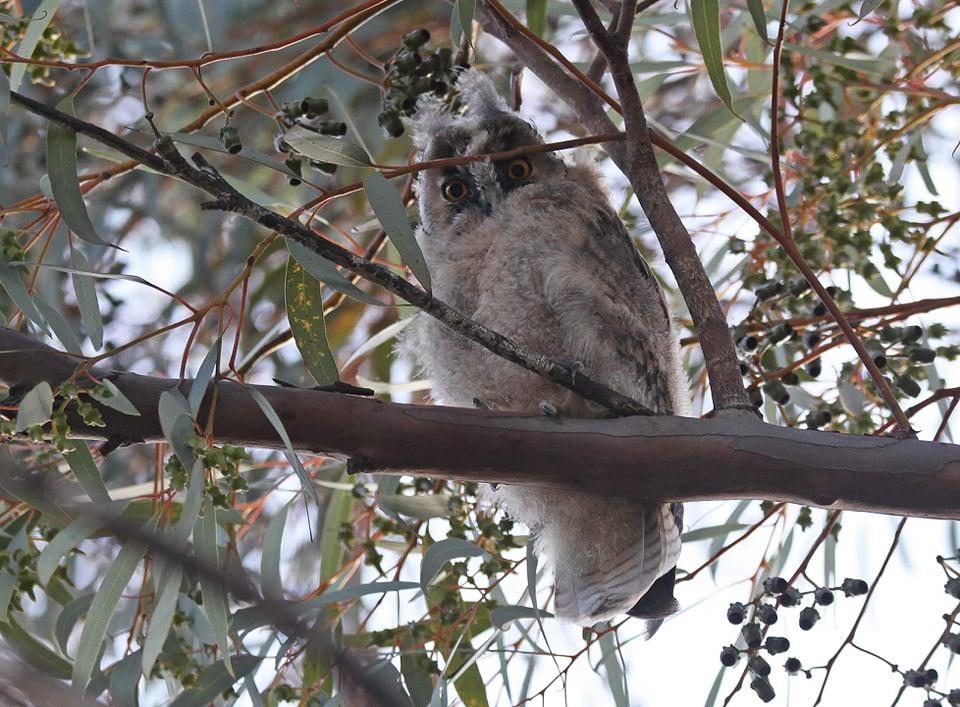Long-eared owlets 'doing well' (photos)
