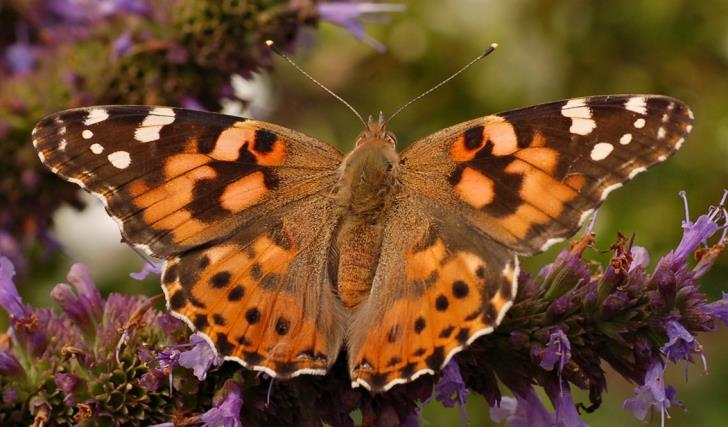Painted Lady butterflies in massive migration over Cyprus (video)