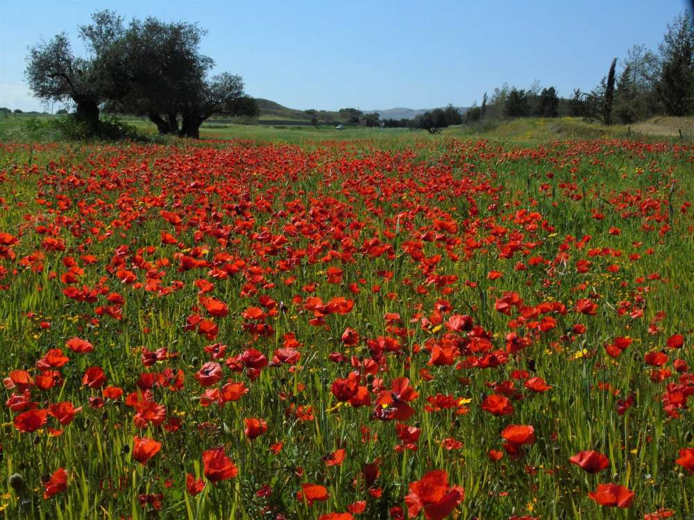 Cyprus Flora: A tribute to spring