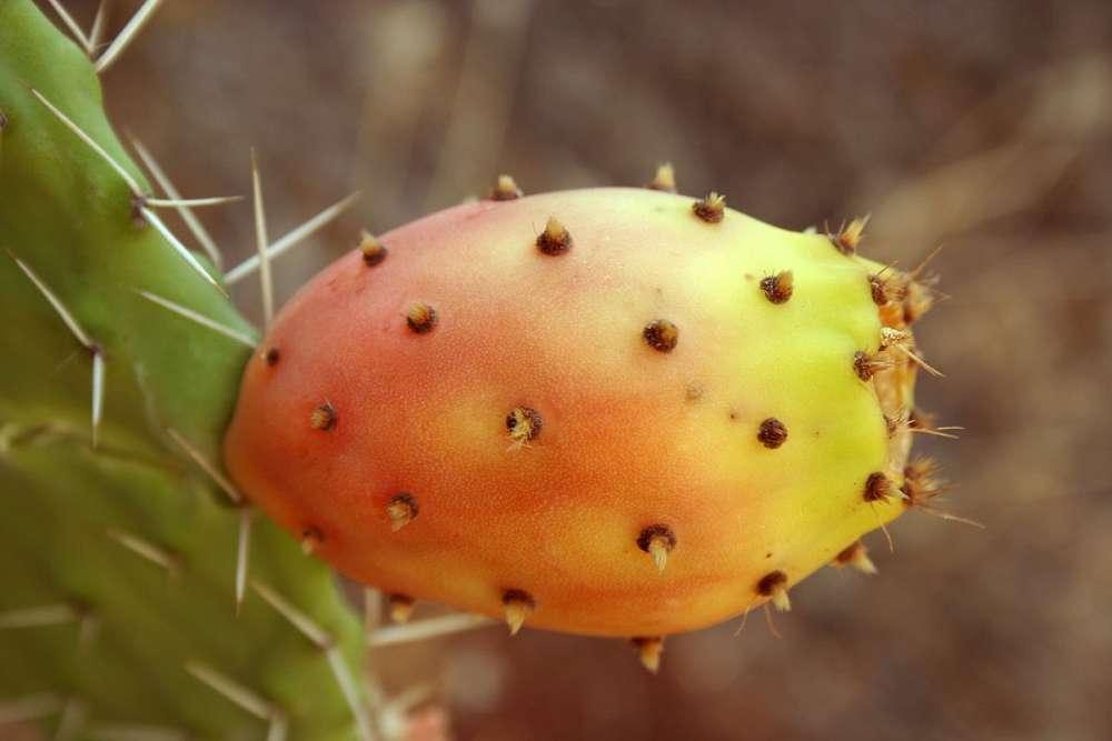 Papoutsosuko (prickly pear): A summer delicious fruit