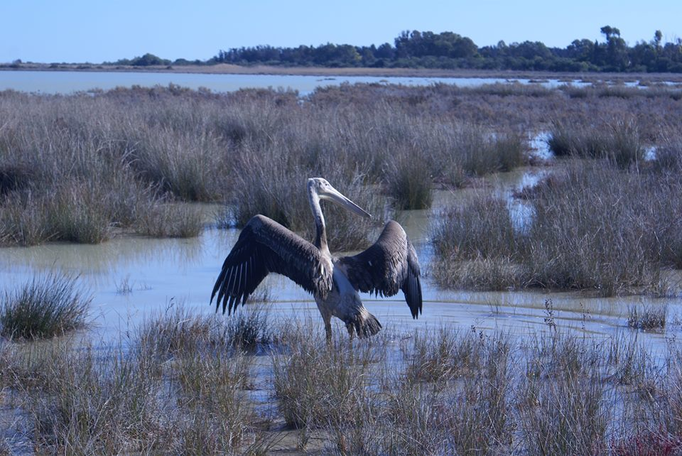 Rescued pelicans released at Akrotiri