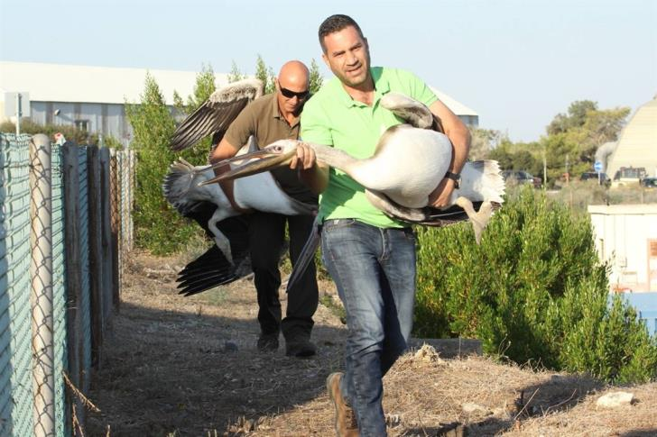 Two rescued pelicans to be released at Akrotiri wetlands (photos)