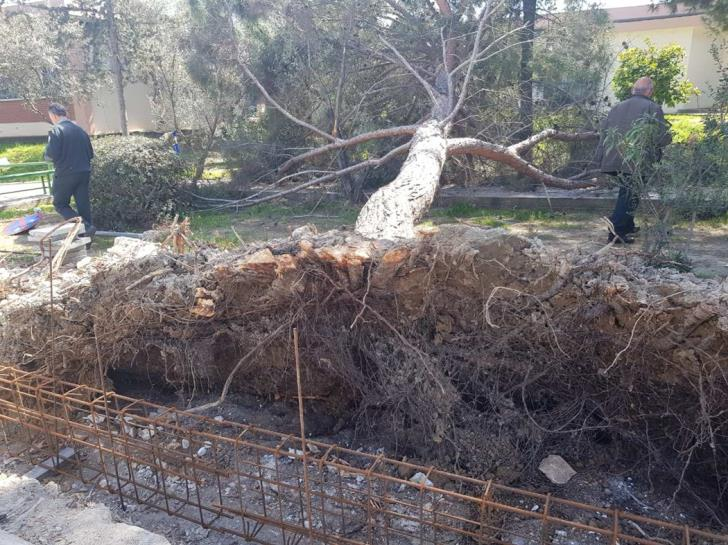 Two large pine trees felled without permission in Strovolos