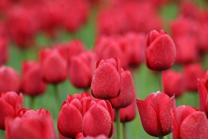 Polemi Tulip Festival