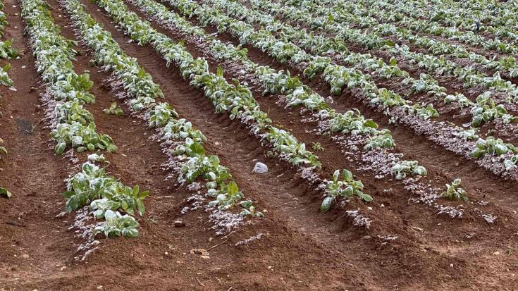 Frost takes toll on potato crop in Famagusta district