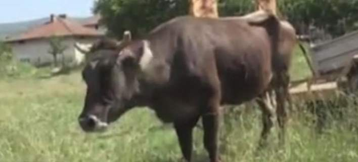 Penka the Bulgarian cow escapes death sentence after international outcry