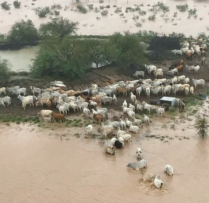 Footage shows tens of dead cows after Queensland flood (video)