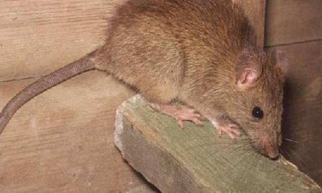 Complaints of spike in rodents after heavy winter rains