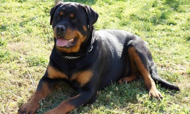 Rottweilers' owner ordered to trial