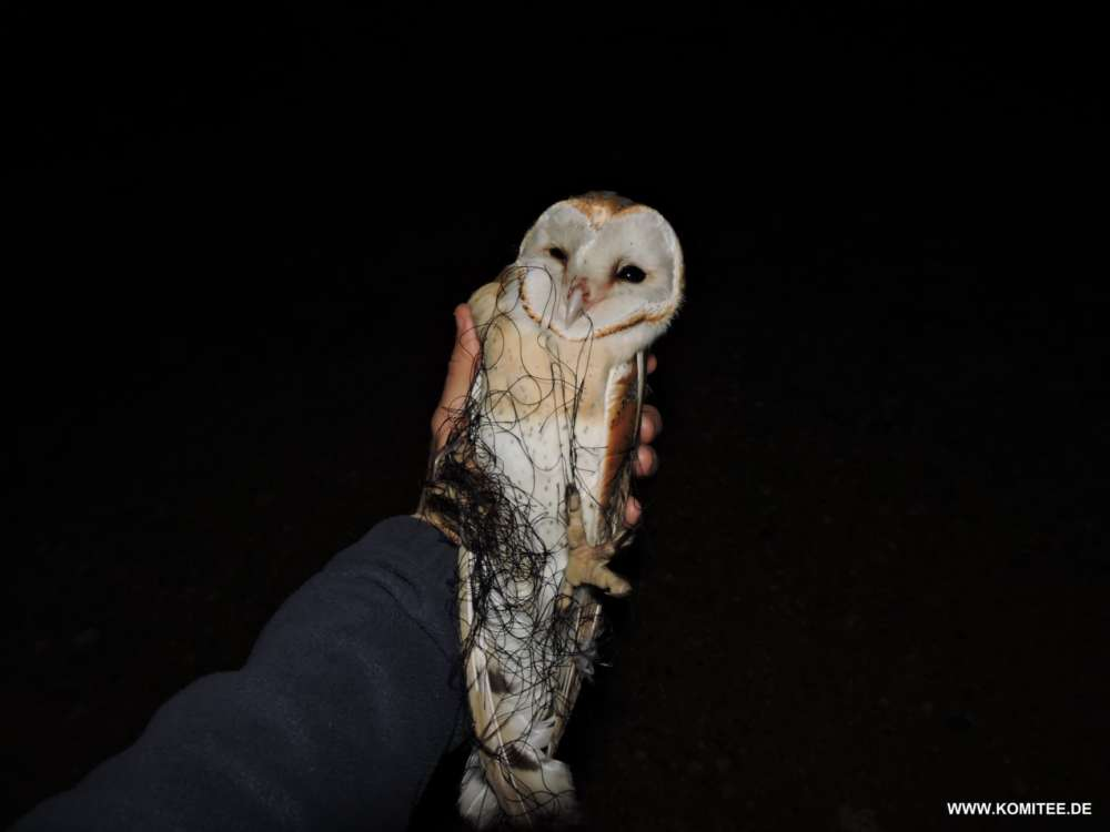 Activists rescue and release barn owl back into wild