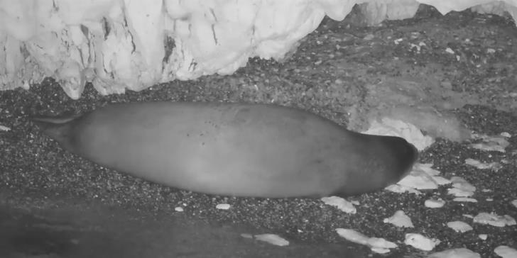 CCTV captures Mediterranean seal in Cyprus cave  (video)
