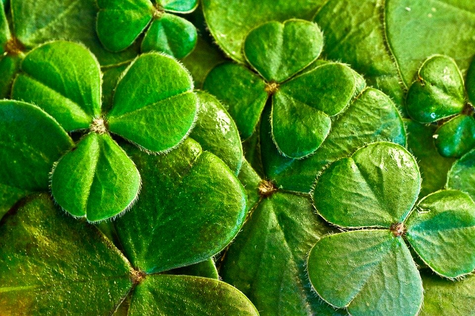Shamrocks, Clover, St Patrick'S Day, St Paddy'S Day
