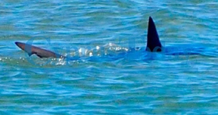 Shark spotted off Morphou bay