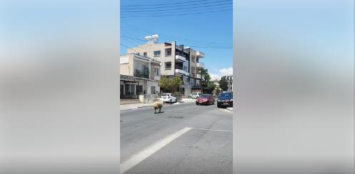 Runaway sheep in Limassol (video)