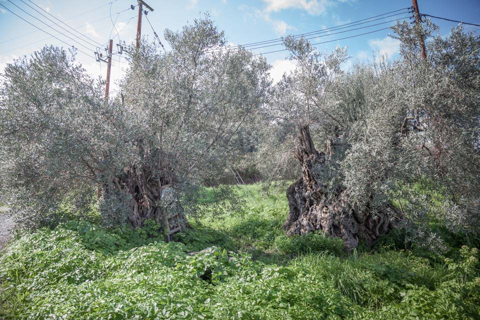 Solea Olive Route: past and present