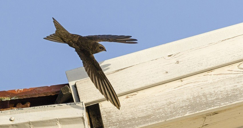 BirdLife Cyprus and Cyta team up to give Common Swifts a home