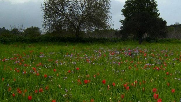 Polemi hosts wild tulip festival