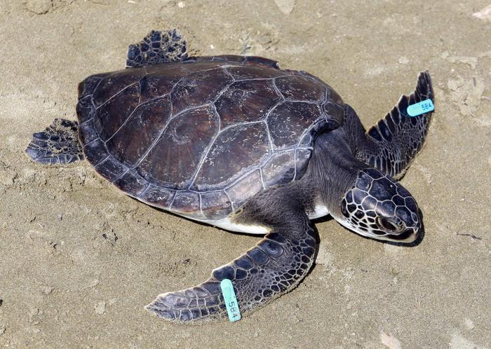 Fisheries Department condemns harassment of sea turtle by divers