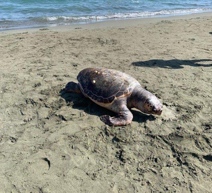Two turtles found dead on Limassol beach