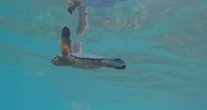 Baby turtles caught on camera on Akamas beach (video)