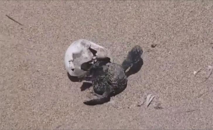 Volunteers witness magic moments of baby turtles hatching (video)