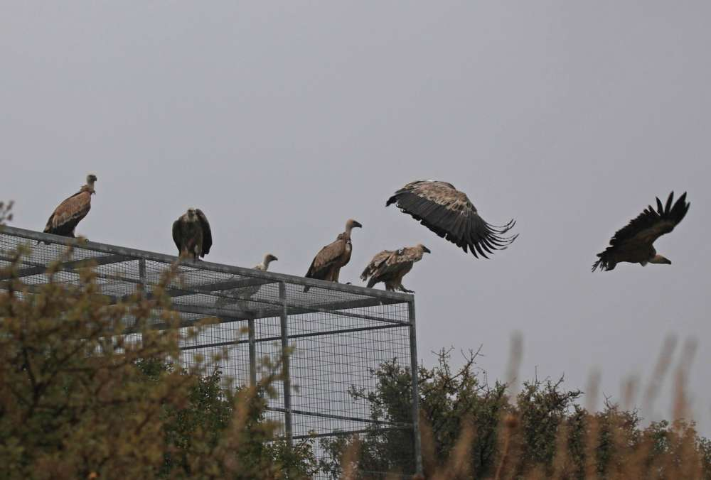 Special Forestry Department feeder a hit with vultures