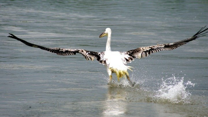 'Stranded' rosy pelicans transferred from Cyprus to Greece's Lake Kerkini