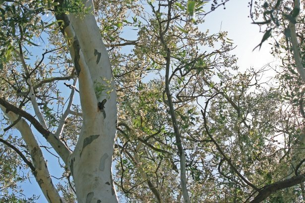 Forestry Department in warning over infestation of eucalyptus trees