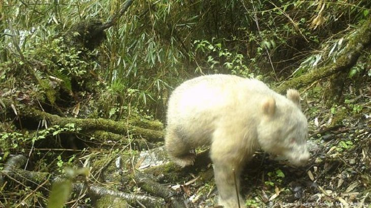 White albino panda caught on camera in world first
