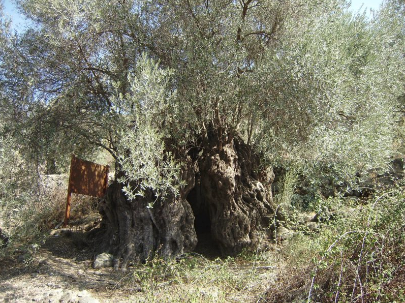 The oldest trees in Cyprus